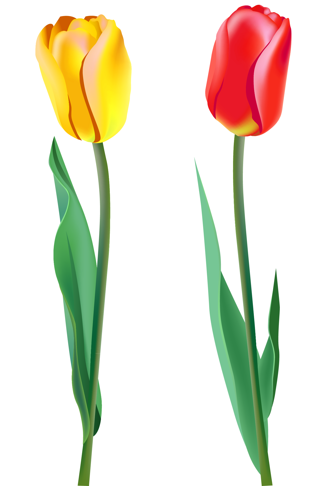 Tulip PNG image - Tulip PNG