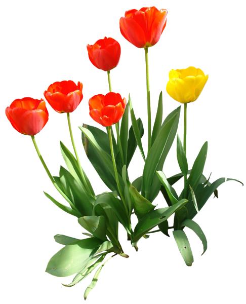Tulip PNG Transparent Image - Tulip PNG