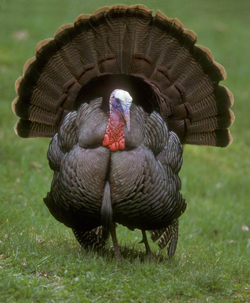 Turkey Bird PNG - 26848