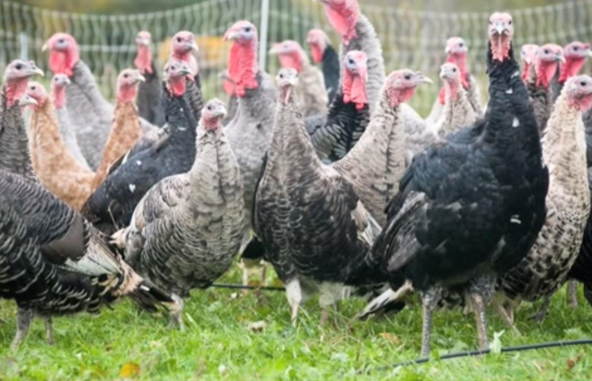 Turkey Bird PNG - 26851