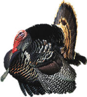 Turkey Png image #20362 - Turkey Bird PNG