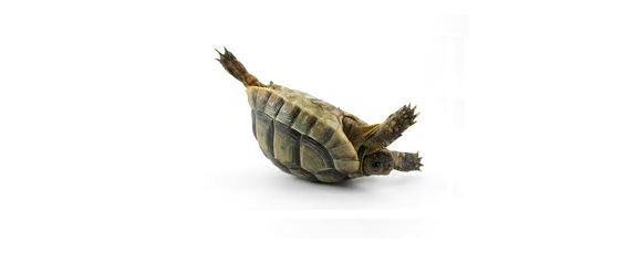 Turtle On Its Back PNG