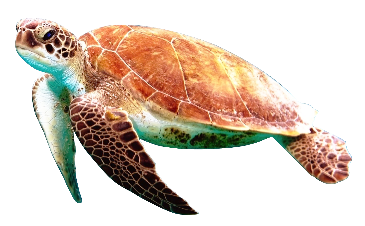 Turtle PNG - 24622