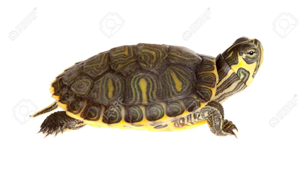 Turtle PNG - 24629