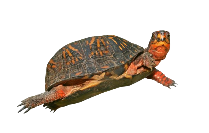 Turtle PNG - 24630