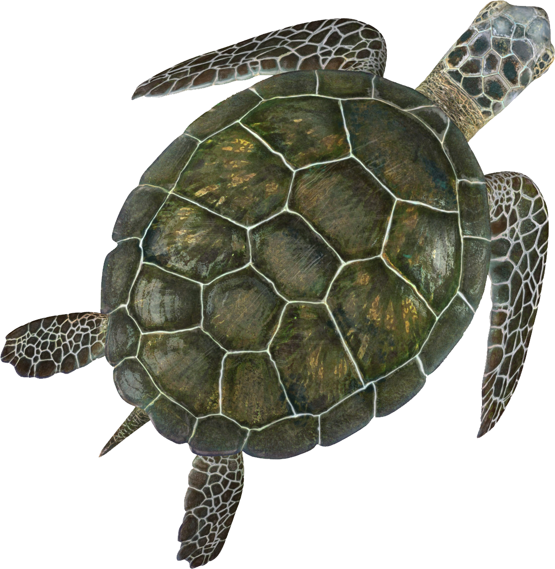 Turtle PNG - 24621