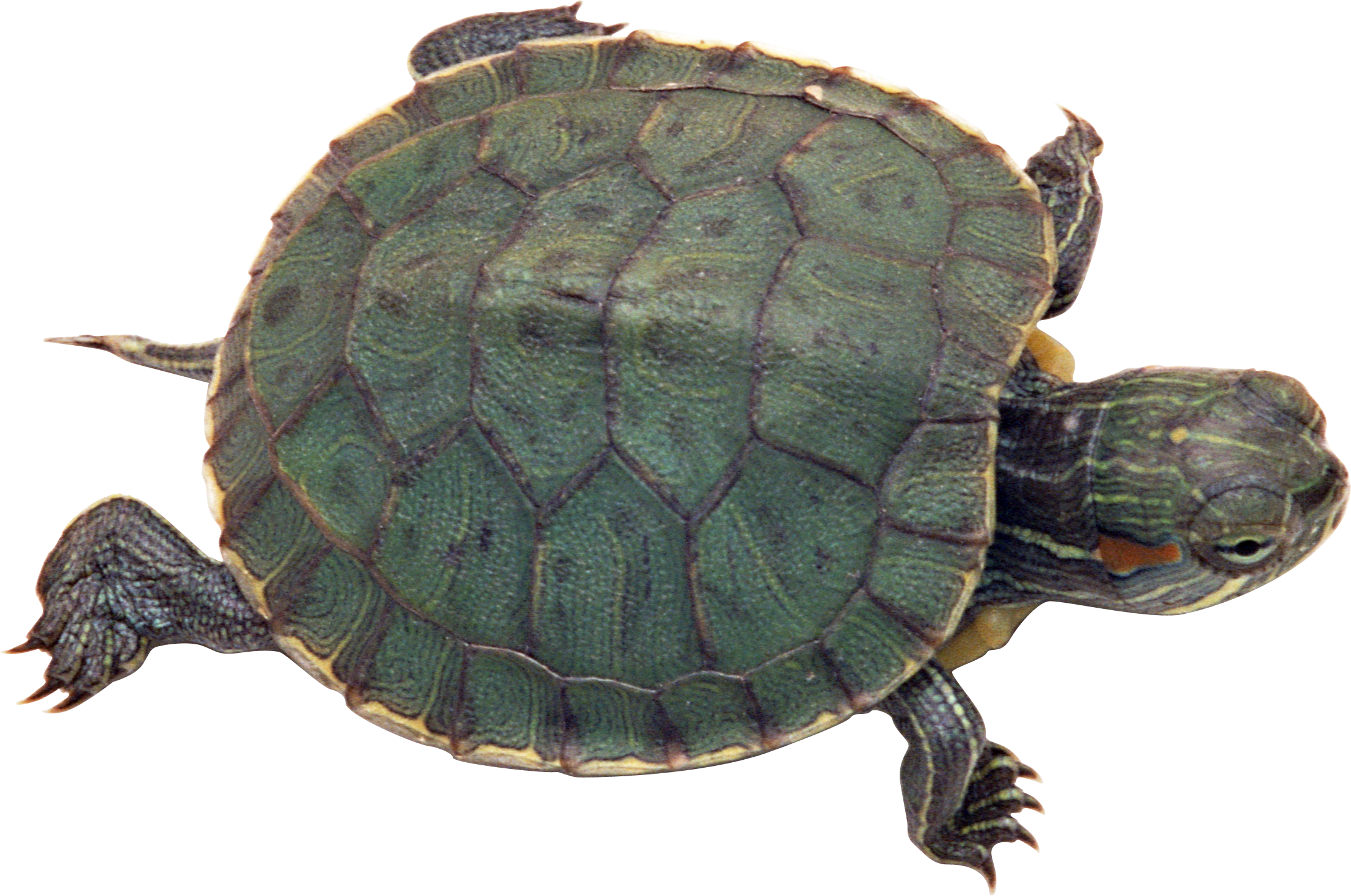 Turtle PNG - 24633