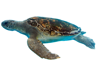 Turtle PNG - 24631