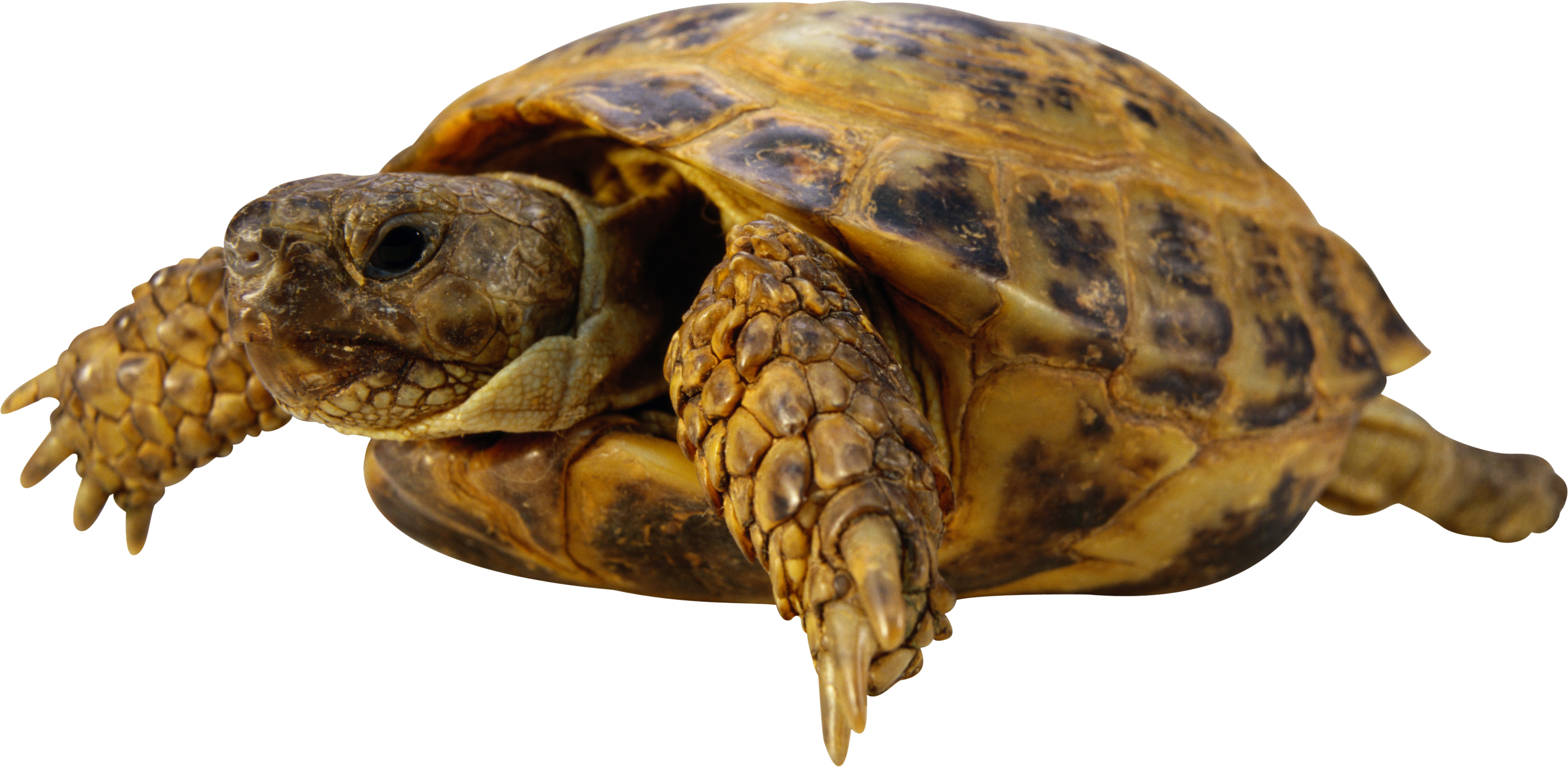 Turtle PNG - 24625