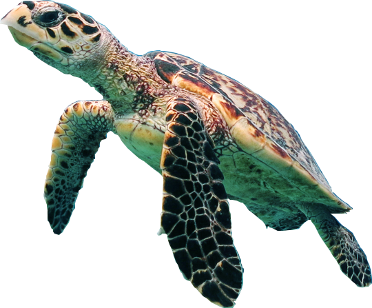 Turtle PNG - 24620
