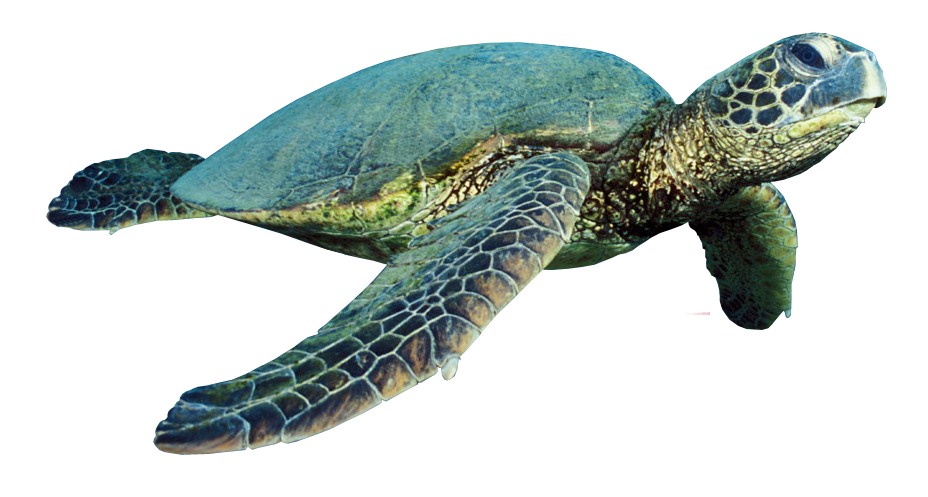 Turtle PNG - 24623