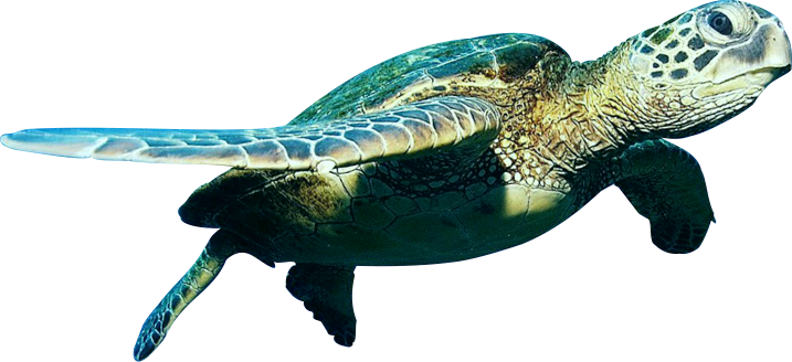 Turtle PNG