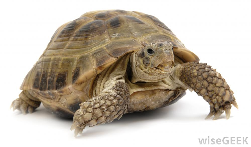 Turtle PNG - 24626