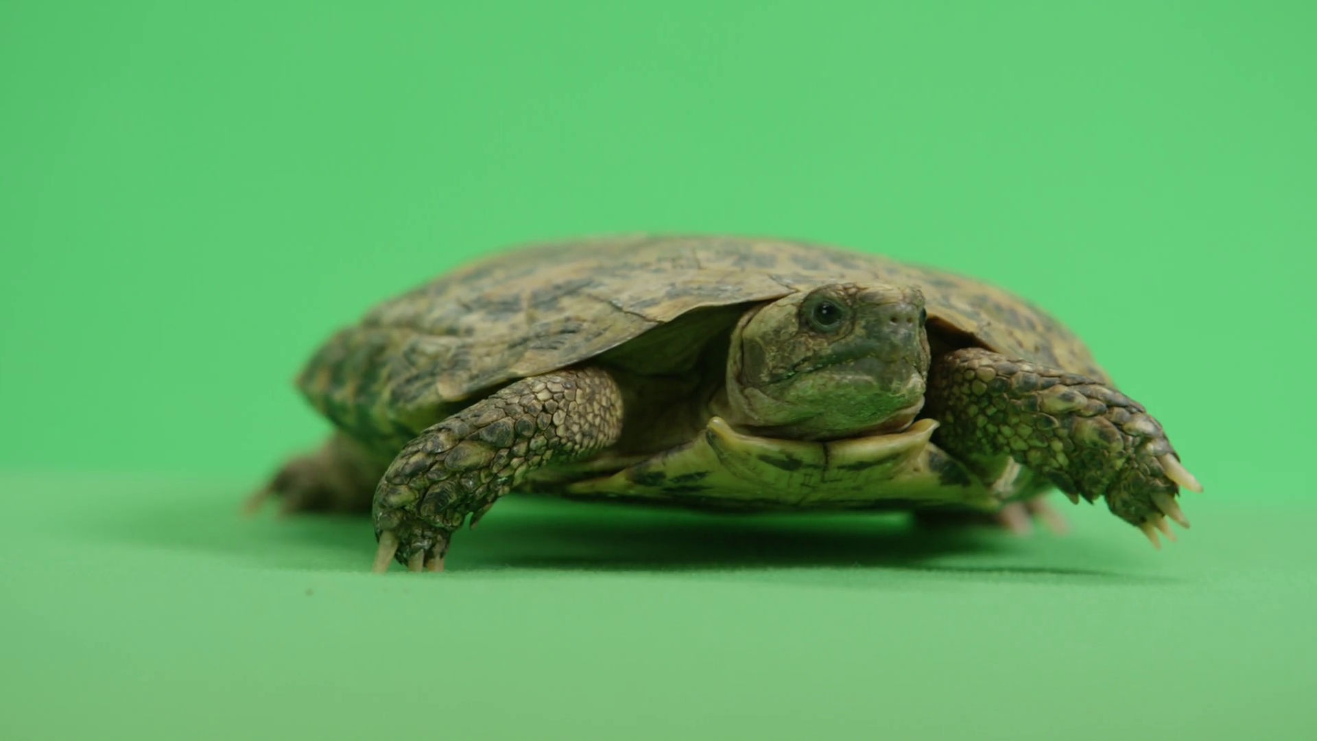 Pancake Turtle walking across green screen Stock Video Footage - VideoBlocks - Turtle Shell PNG HD