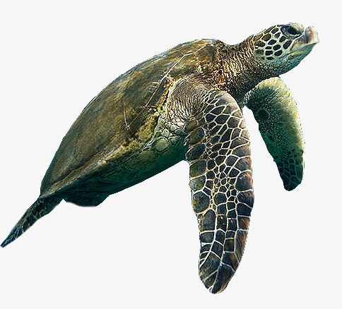 Sea turtle, Sea, Aquarium PNG Image and Clipart - Turtle Shell PNG HD