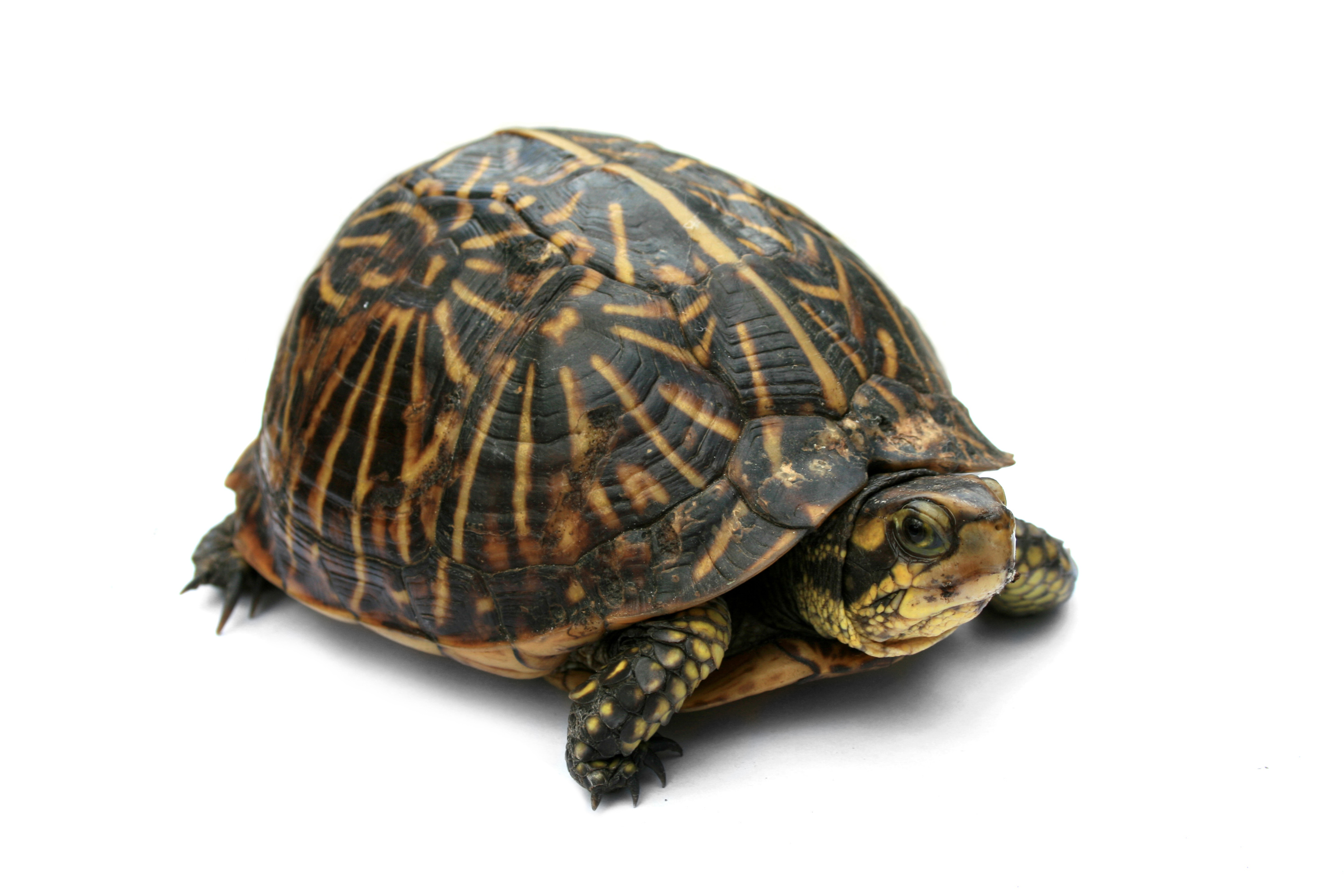 Turtle 11 - Turtle Shell PNG HD