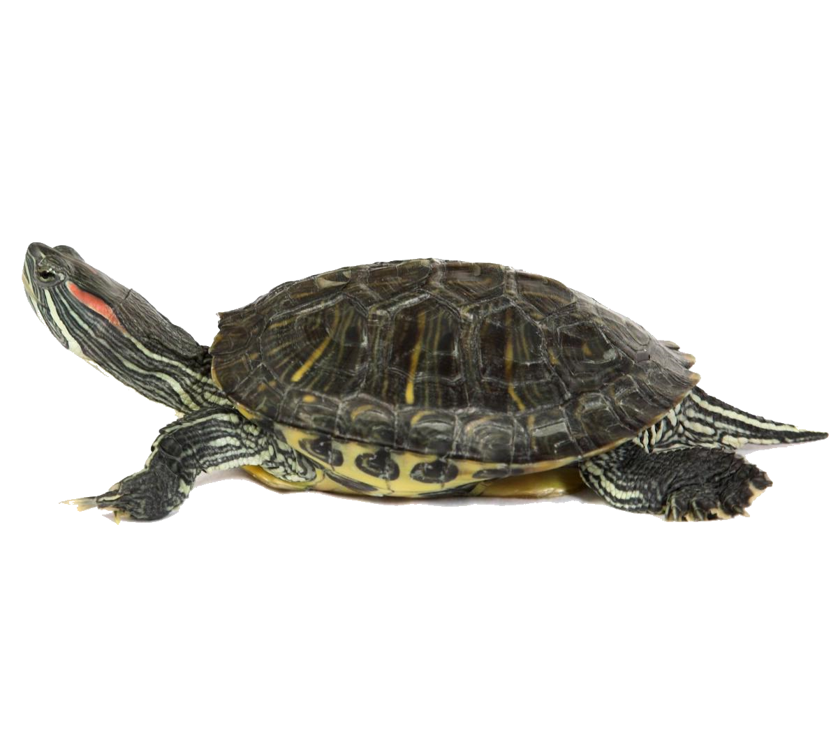 Turtle - Turtle Shell PNG HD