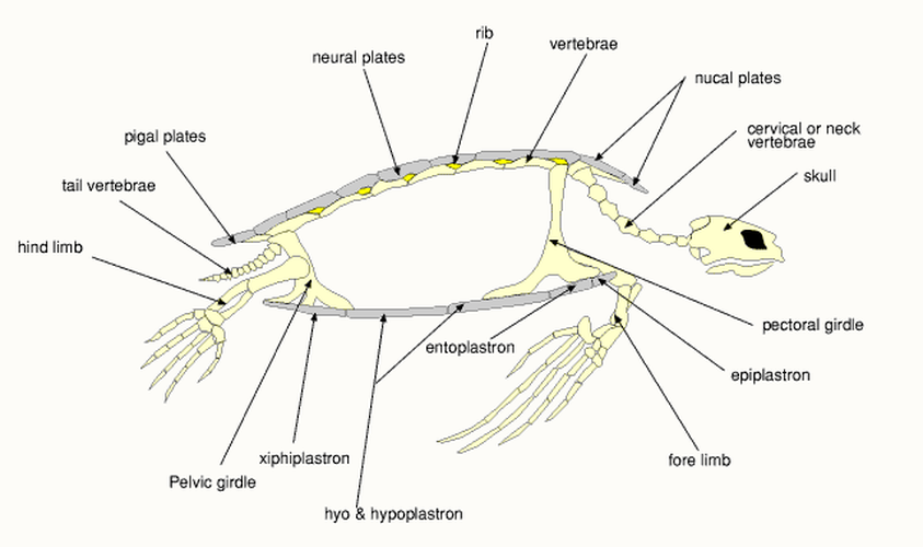 . PlusPng.com Turtle Anatomy The Anatomy Of Sea Turtles Ideas Lateral Or Side View  Hi-Res Wallpaper PlusPng.com  - Turtle Shell PNG HD