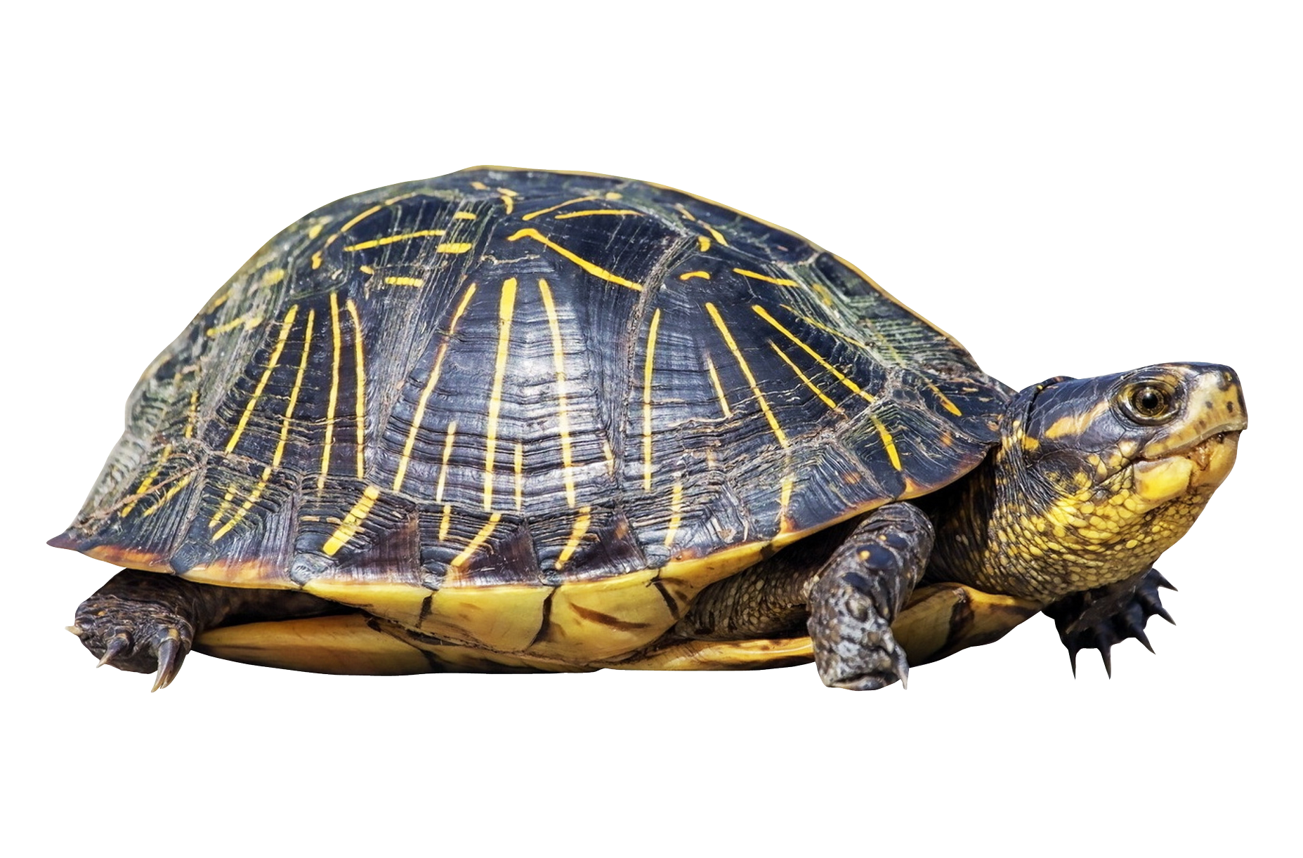 Turtle PNG Transparent Image - Turtle Shell PNG HD