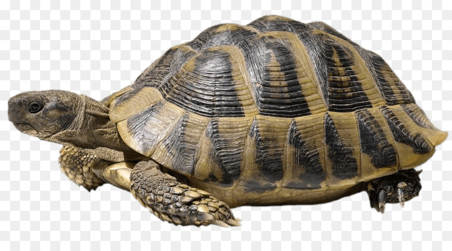 Turtle shell Hermannu0027s tortoise Stock photography Common tortoise - tortoide - Turtle Shell PNG HD