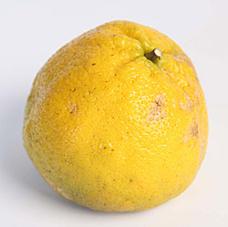 Back to top ↑; Ugli fruit - Ugli Fruit PNG