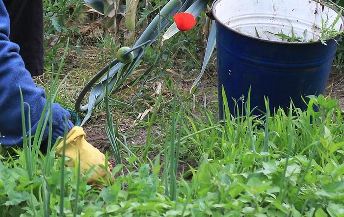 Wohl jeder Gärtner, sei es als Hobby oder beruflich, musste sich mit Unkraut  herum schlagen. Ist es erst einmal da, ist es schwer, Unkraut wieder los zu  PlusPng.com  - Unkraut Jaten PNG