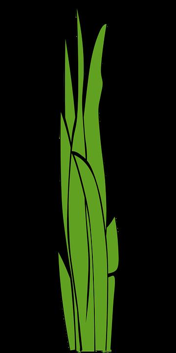 Grashalme, Gras, Unkraut, Grassavannen Pflanze - Unkraut PNG