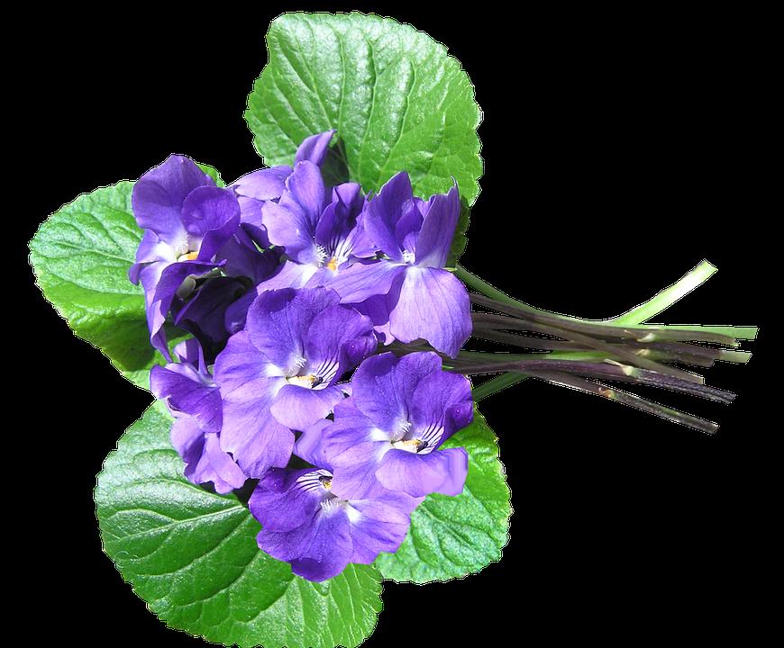 Veilchen, Blau, Parfümiert, Ausgeschnitten - Veilchen PNG