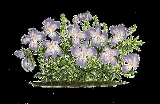 Veilchen, Pflanze, Blüten, Isoliert - Veilchen PNG
