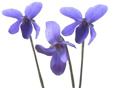 Veilchen, steht für Bescheidenheit PlusPng.com  - Veilchen PNG