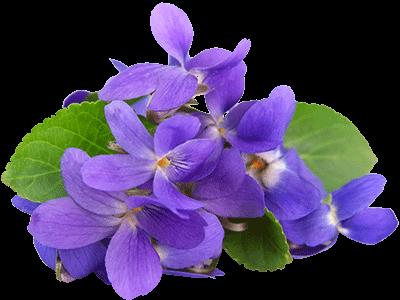 violets -- Flavors . - Veilchen PNG
