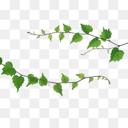 ivy vines, Plant, Green, Ivy PNG Image and Clipart - Vine And Branches PNG