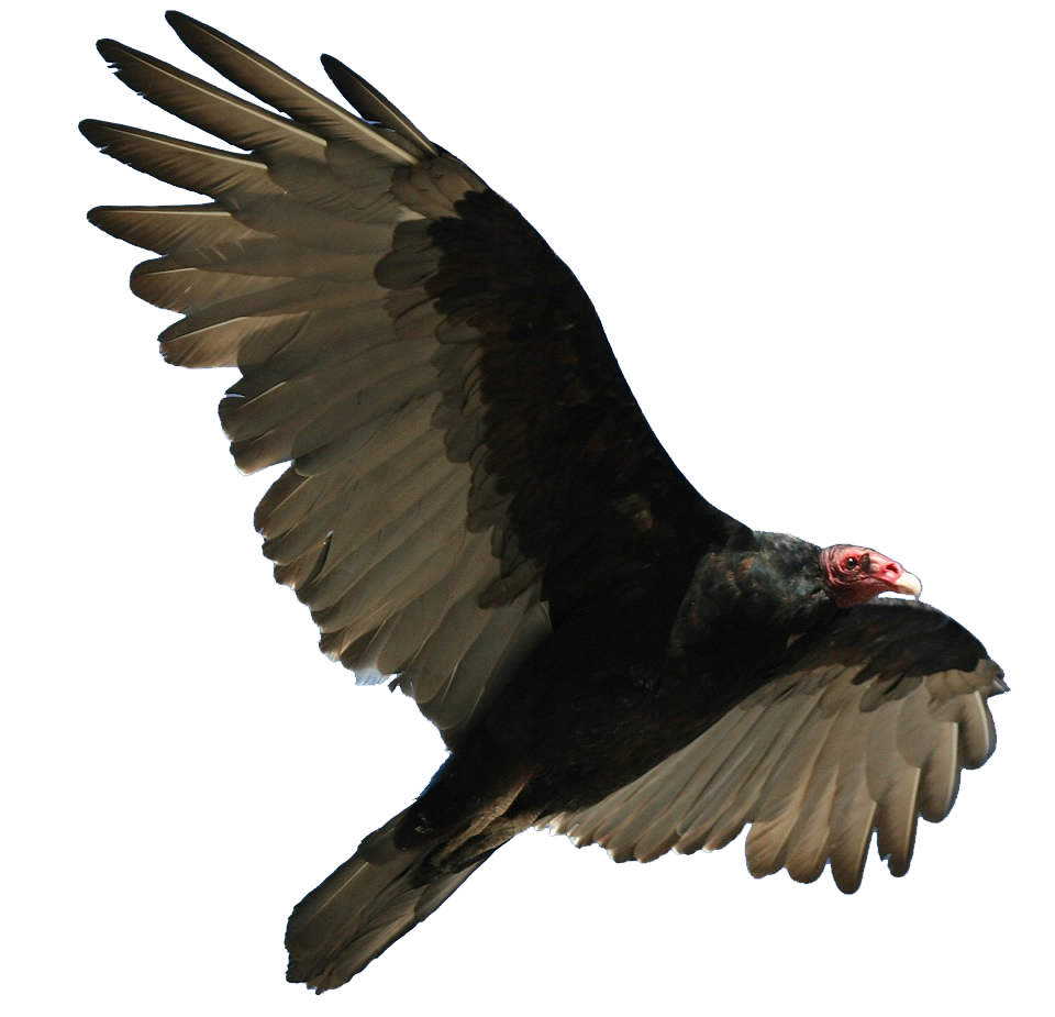Turkey Vulture - Vulcher PNG