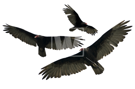 Turkey Vulture Isolated - Vulcher PNG