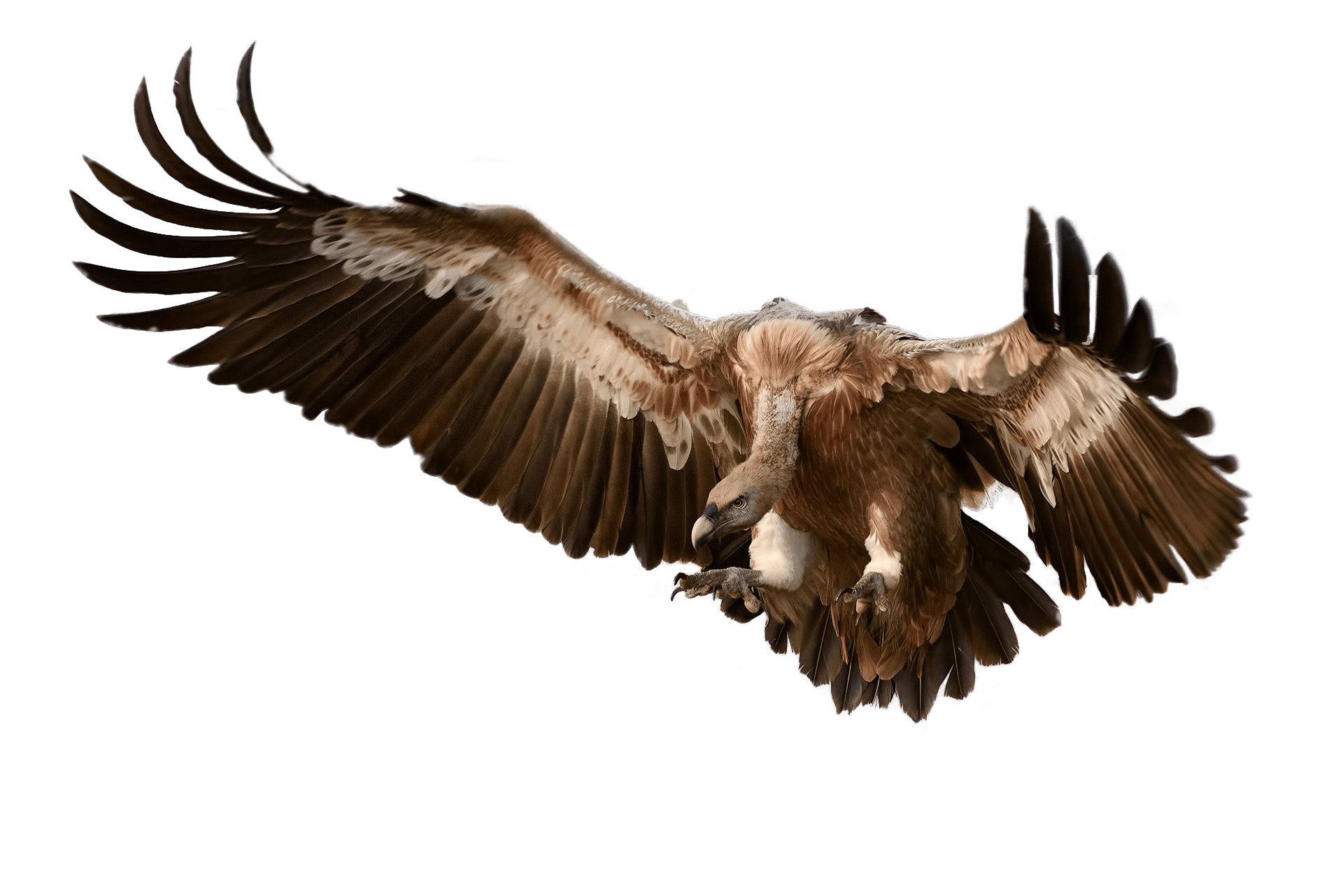 Vulture Attacking Its Prey - Vulcher PNG