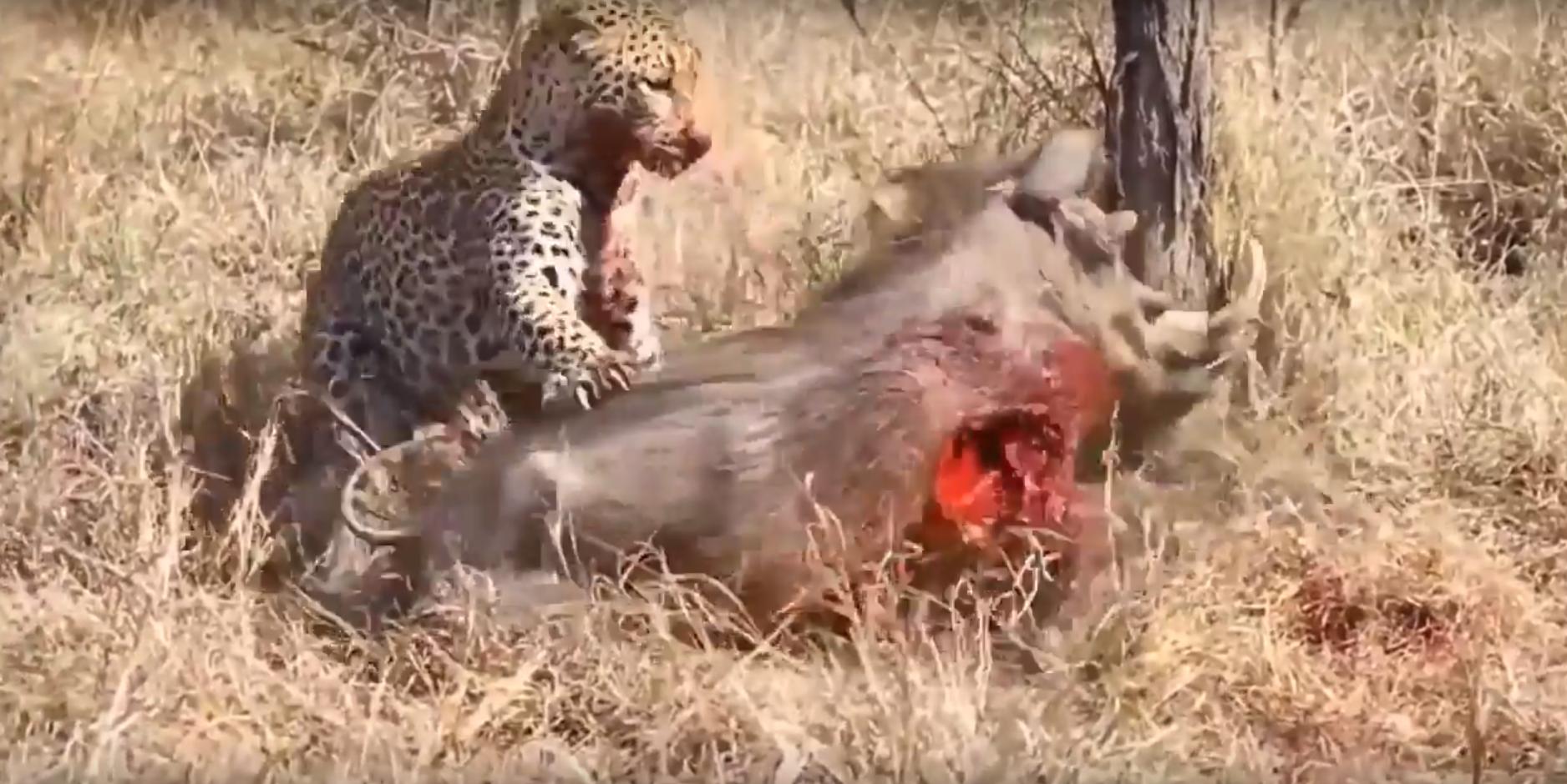 File:Leopard eats alive Warthog ✰Amaizing Video HD 3.png - Warthog PNG HD