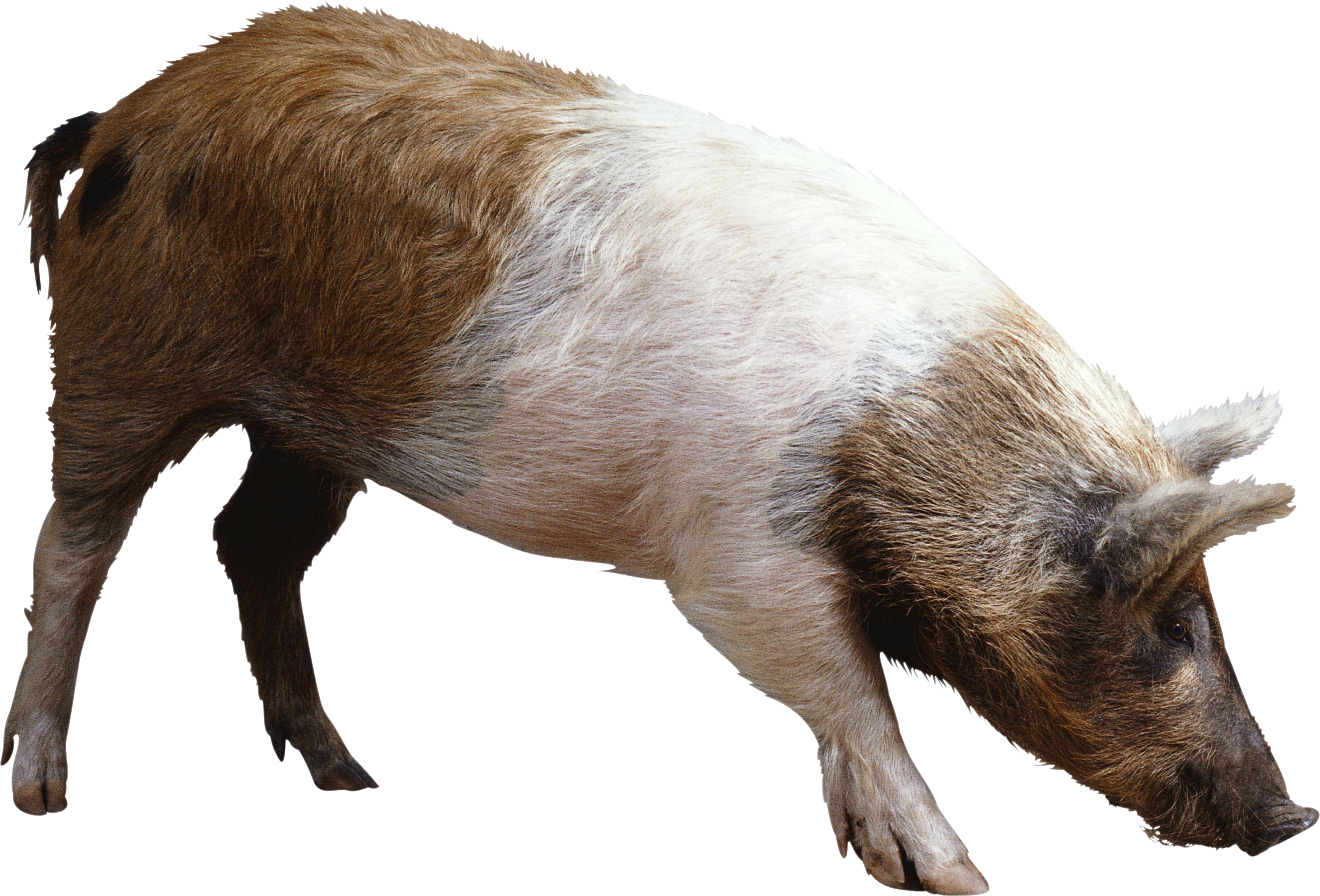 pig PNG - Warthog PNG HD