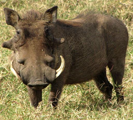 Warthog.png - Warthog PNG HD