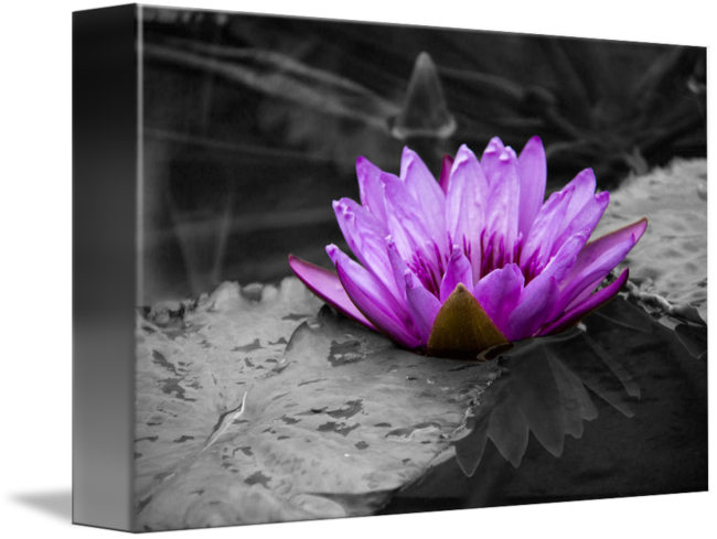Water Lily PNG Black And White-PlusPNG.com-650 - Water Lily PNG Black And White