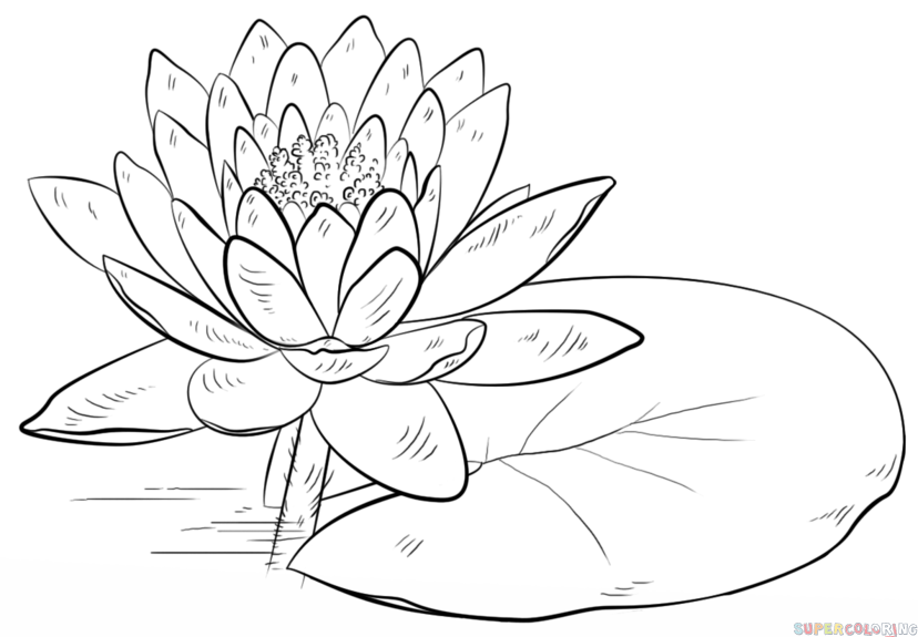 How to draw a water lily and pad - Water Lily PNG Black And White