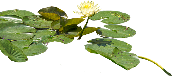 Download Water Lily PNG images transparent gallery. Advertisement - Water Lily PNG