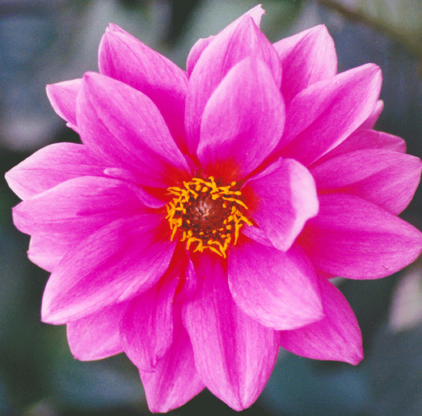 File:Water-lily.png - Water Lily PNG