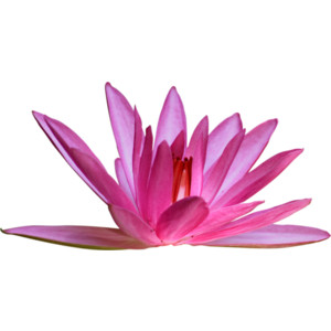 MBW Chinoiserie Water Lily 1.png - Water Lily PNG