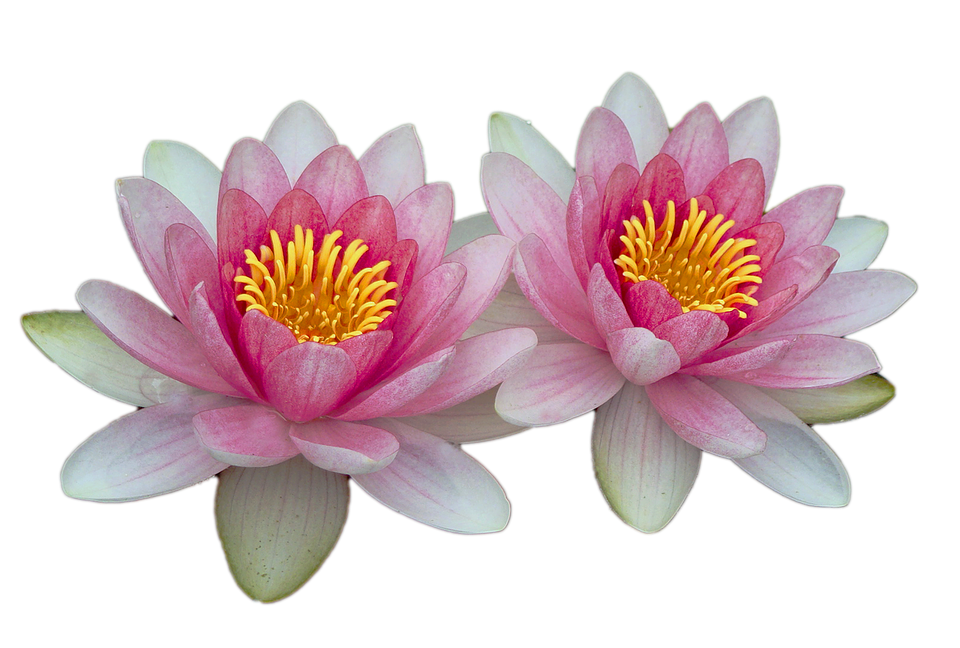 Water Lilies, Pink, Pink Water Lily, Aquatic Plant - Water Lily PNG