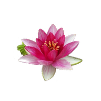 Water Lily Png File PNG Image - Water Lily PNG