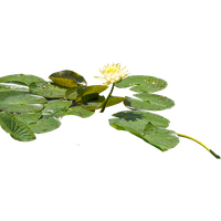 Water Lily Png Hd PNG Image - Water Lily PNG