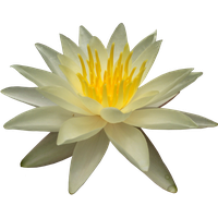 Water Lily Png Picture PNG Image - Water Lily PNG