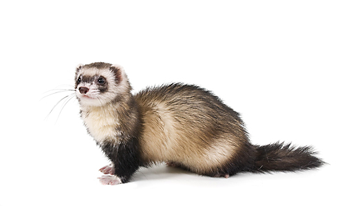 Facts About Weasels | Weasel Facts | Havahart® - Weasel PNG HD