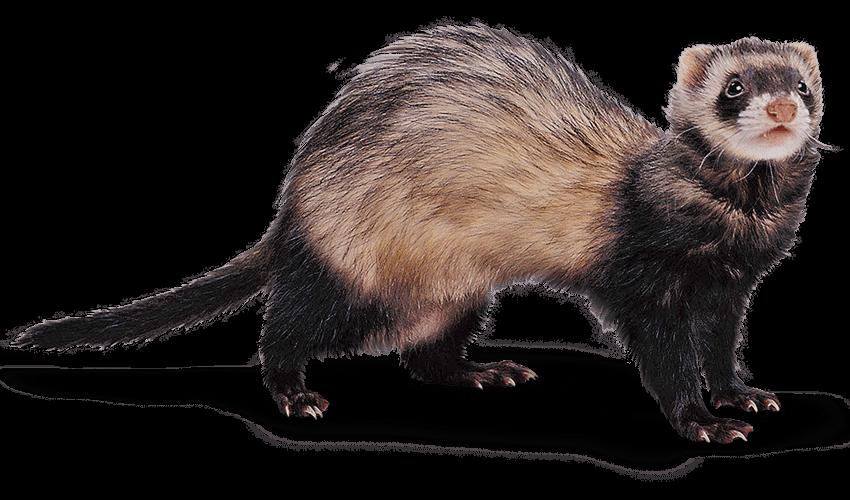 Ferret PNG - Ferret HD PNG - Weasel PNG HD