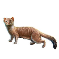 File:Huge item stoatally weasel 01.png - Weasel PNG HD